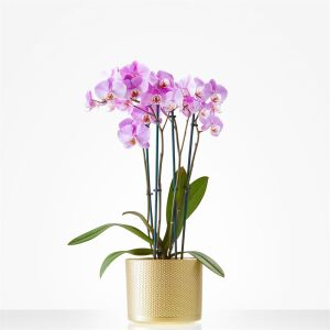 Orchidee incl. pot